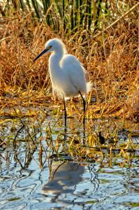 Snowy Egret'